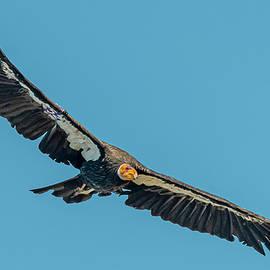 California Condor #52 Flight by Morris Finkelstein