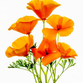California Poppies by Wes and Dotty Weber