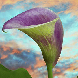 Calla At Sundown. by Terence Davis