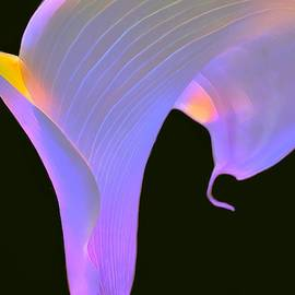 Calla Lily Illuminated by Christina Ford