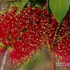 Callistemon - bottlebrush flower by Lesley Evered