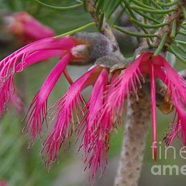 Calothamnus rupestris by Lesley Evered