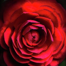 Camellia in Macro by Mike Nellums