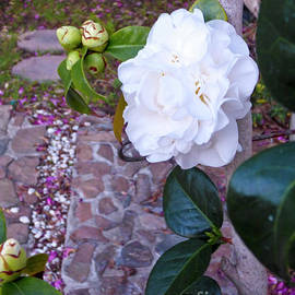 Camellia Sentry by Julieanne Case