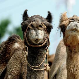 Camels  by Prerna Jain