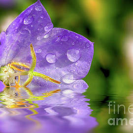 Campanula purple flower in water by Simon Bratt Photography LRPS