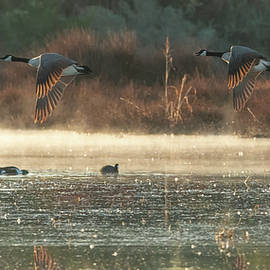Canada Geese and Coots 4560-011420-2 by Tam Ryan