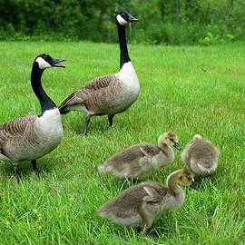 Canada Geese Family Walk by Lyuba Filatova