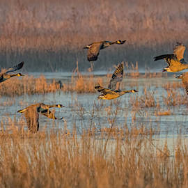 Canada Geese Flight At Sunrise by Morris Finkelstein