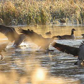 Canada Geese Landing on a Frozen Lake by Logan Kline