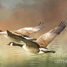 Canada Geese Pair In Flight by John Bartelt