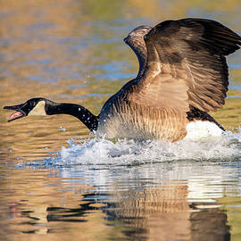 Canada Goose 9671-020920-2 by Tam Ryan