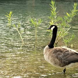 Canada Goose and Water Willow by Sheila Brown