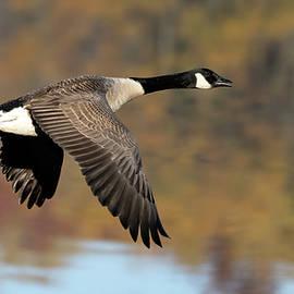 Canada goose autumn flight by Jack Nevitt