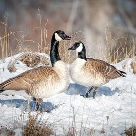 Canada Goose Love by Judi Dressler