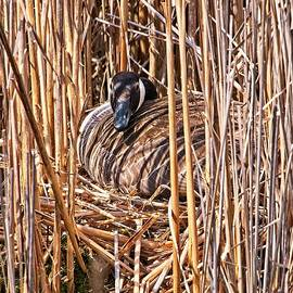 Canada Goose on Nest - Madison, Wisconsin by Steven Ralser