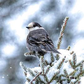 Snowy Canada Jay by Jennifer Jenson