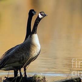 Canadian geese, El Dorado National Forest, California, U.S.A. by PROMedias Obray