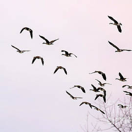 Canadian Geese In Flight by Diann Fisher
