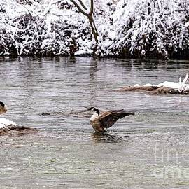 Canadian Geese by Richard Thomas