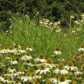 Cantigny Cone Flowers and Grasses by Barbara Ebeling