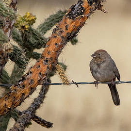 Canyon Towhee by Phil Stone