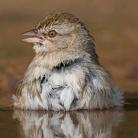 Canyon towhee Getting Ready for Another Dip by Puttaswamy Ravishankar