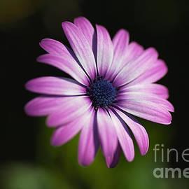 Cape Daisy Bloom by Joy Watson