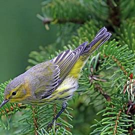 Cape May Warbler In Spruce Tree by Debbie Oppermann