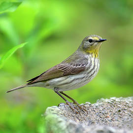 Cape May Warbler Songbird by Christina Rollo