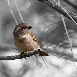 Cape Sparrow Female by Eva Lechner