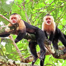 Capuchin Monkeys, Costa Rica by Lyuba Filatova