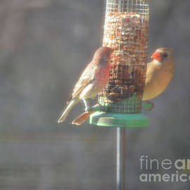 Cardinal and House Finch Starring At Each Other  by Ruth Housley