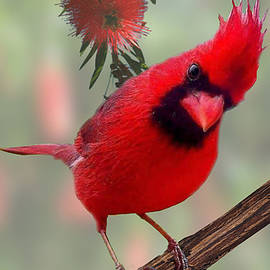 Cardinal in Bottlebrush by Christopher Haire