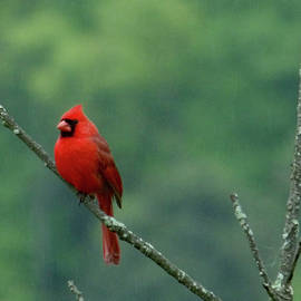 Cardinal in the Mountaions by Rachel Ewers