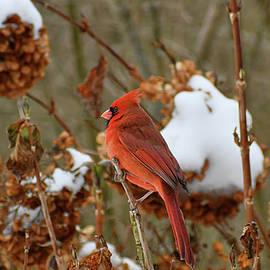Cardinal on Hydrangea Bush by Rebekah Schweizer