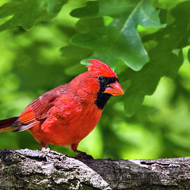 Cardinal Red by Christina Rollo