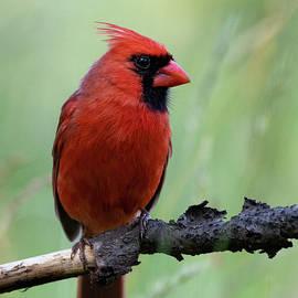 Cardinal Visit by Matthew Gehly