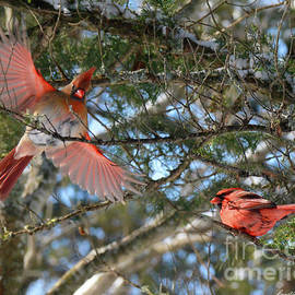 Cardinal Wings Spread by Constance Woods