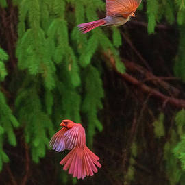 Cardinals In Flight by Sharon McConnell