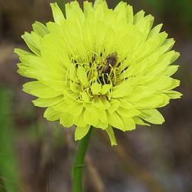 Carolina Desert Chicory - Pyrrhopappus carolinianus by Kathy Clark