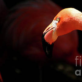 CarribeanFlamingo-8166 by Gary Gingrich Galleries