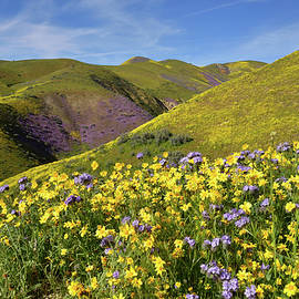 Carrizo Plain Hillside Daisies by Kathy Yates