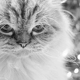 Cat Dreaming of A White Christmas by Maria Faria Rodrigues