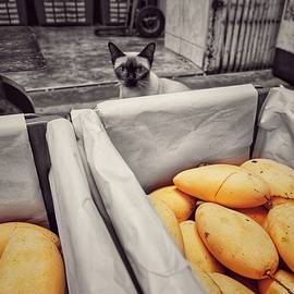 Cute Siamese kitten, cat staring through exotic yummy ripe mango at the fresh market by Kilimanjaro STUDIOz x Prachot