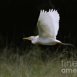 Cattle Egret Flight by Myrna Bradshaw