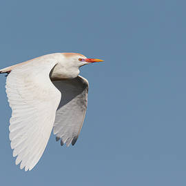 Cattle Egret in Flight I by Dawn Currie