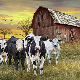 Cattle in the Midwest with Barn and Tractor at Sunset  by Randall Nyhof