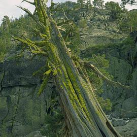 Cedar Tree, El Dorado National Forest, California, U. S. A. by PROMedias Obray