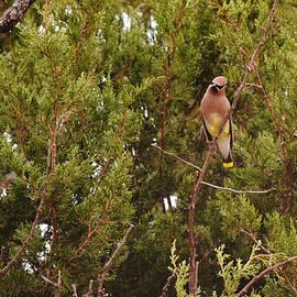 Cedar Waxwing Near Cedar Trees